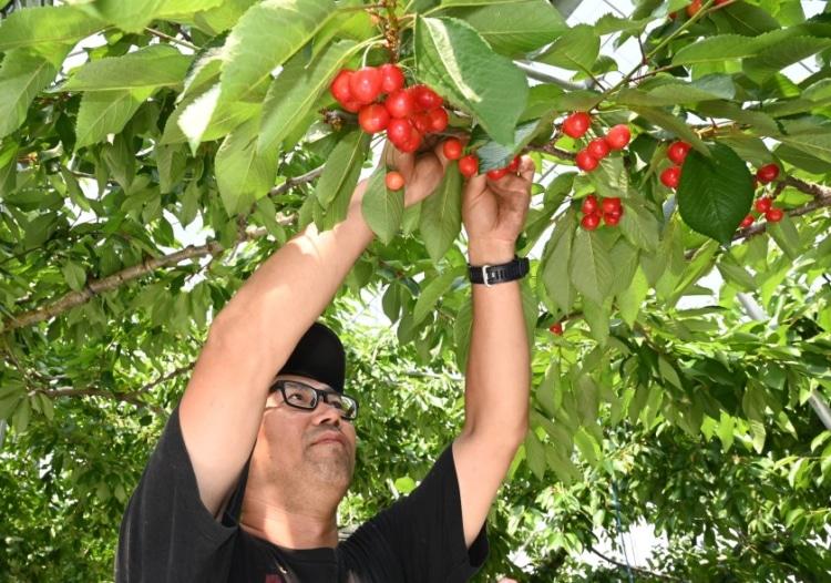 佐藤錦を収穫する男性