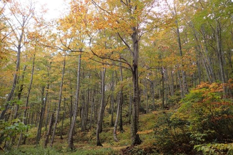 秋のブナの林