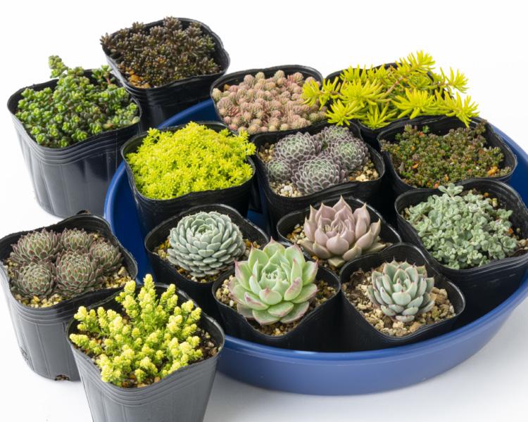 多肉植物の鉢植え