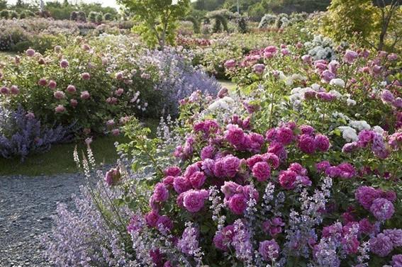 世界で有名なイングリッシュローズ育種会社の直営ガーデン