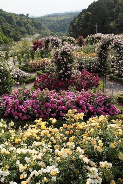 世界で有名なイングリッシュローズ育種会社の直営ガーデン2